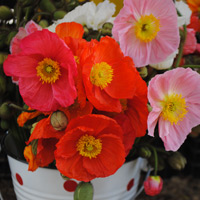 Spotty tin bucket, filled with spring poppies